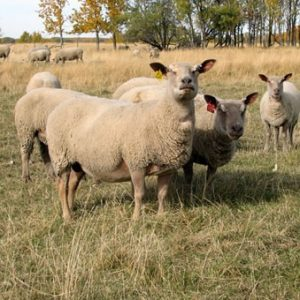 Charollais Sheep – Şarole Koyunu