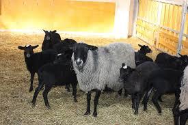 Romanov Koyunu Bakımı ve Beslenmesi