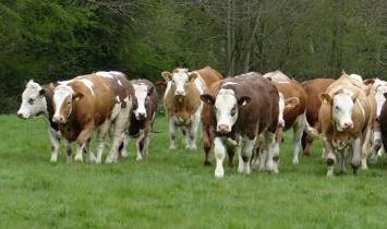 Yetiştiricilerin Kendi Adına Yapacakları Özel İzine Tabi Damızlık Dişi Sığır İthalatı Uygulama Talimatı