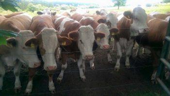 Damızlık Dişi Sığır ( Boş Düve ) İthalatı
