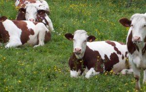 Sığırlarda Irkları Nedir ve Nasıl Tespit Edilir