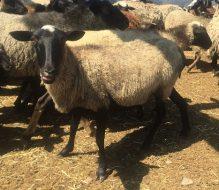 Damızlık Küçükbaş İthalatı Teknik Kriterler  Koyun-Keçi