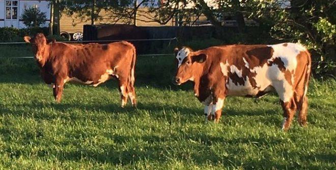 Damızlık Sığır İthalatı Nasıl Yapılır