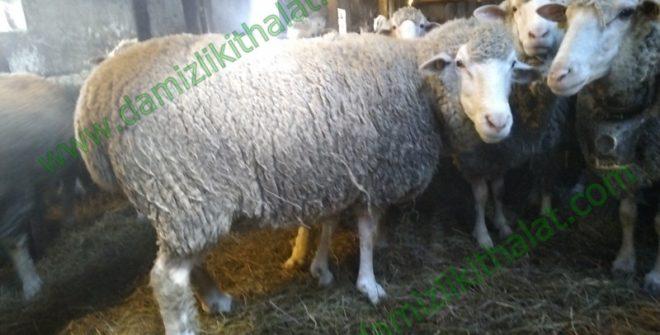 İle De France Koyun İthalatı