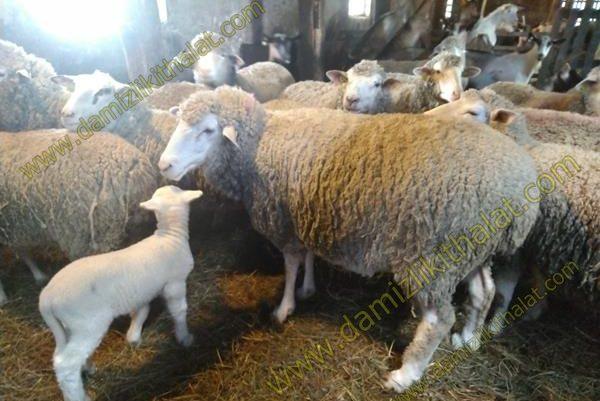 Damızlık Küçükbaş Koyun İthalatı