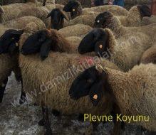 Plevne Koyunu İthalatı